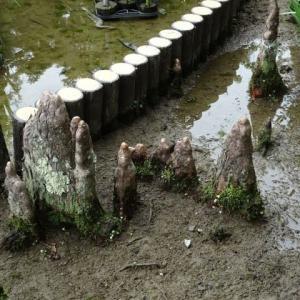 京都府立植物園 番外編 ヌマスギの呼吸根