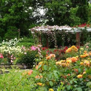 京都府立植物園 7 バラ園 花びらの絨毯