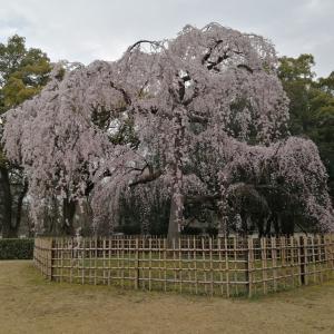 京都御苑の糸桜が咲きました