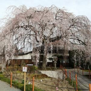 京の一枚  本満寺の枝垂れ桜🌸