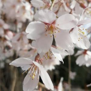 京の桜情報 2021 日蓮宗本山 本満寺の枝垂桜