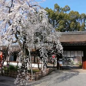 京の一枚    平野神社   魁桜