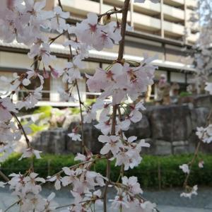 京の一枚   六角堂頂法寺   🌸御幸桜🌸