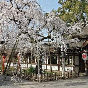 京の桜情報2021 平野神社 魁櫻