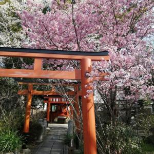 京の桜情報 2021 平野神社 光陽桜・扁桃桜