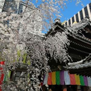 京の桜情報2021 六角堂頂法寺 御幸桜