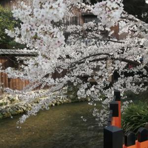京の桜2021    祇園白川の桜