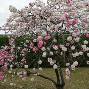 京都府立植物園 枝垂れ桃