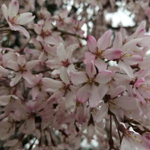 京の桜情報 2021 半木の道(ながらぎのみち)の紅枝垂れ