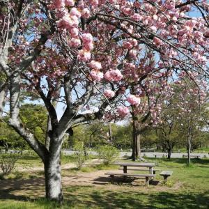京の桜情報2021 京都御苑八重咲の桜満開