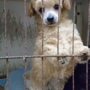 トイプードル 仔犬 赤ちゃん