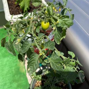 【家庭菜園】トマトがいつの間にか実ってます