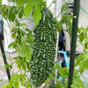 【家庭菜園】ゴーヤー収穫
