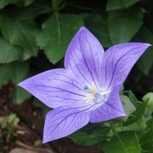 キキョウの花って二季咲き?