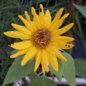 虫喰いでも猛暑のなか咲くお花が良い