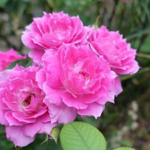 お庭のバラ、シェエラザード  お庭仕事ができた日