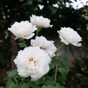 ロサオリのバラは夏に強いかも。白いバラ、シューラネージュ