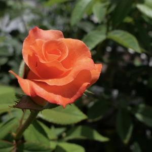 ベランダのバラ、プリンセス・ミチコ