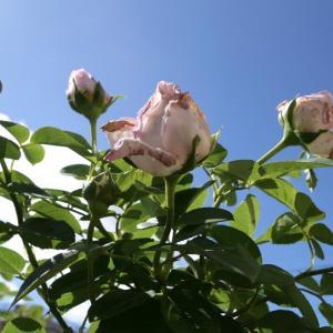 残念なオーブ^^;に遅い種蒔きのアサガオ舞姿の初開花