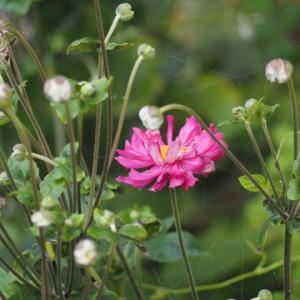 八重咲きシュウメイギク