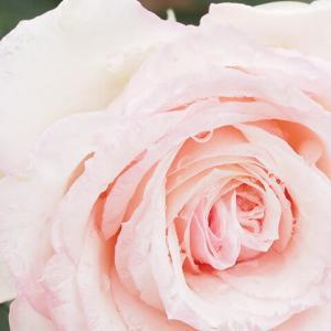 小雨の日のバラ