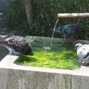 鳩も水浴び