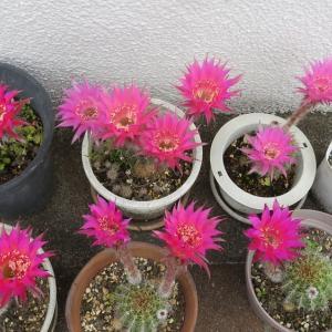 一気に咲いたサボテンの花・・・Vol.2341