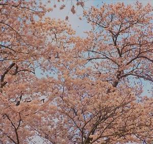 桜を追いかける