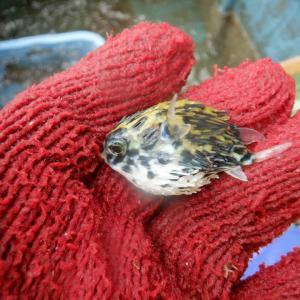 ハリセンボン幼魚
