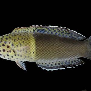 遂に採集 カンムリベラ若魚
