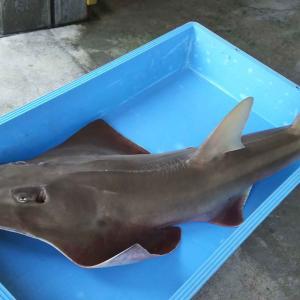 新種モノノケトンガリサカタザメ