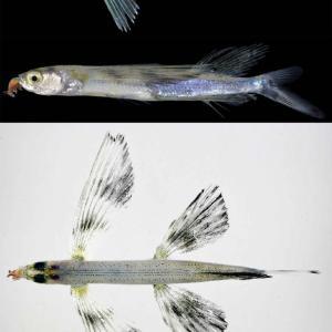 トビウオ幼魚の成長過程