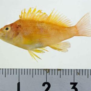 オキゴンべ幼魚