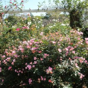 里見公園 薔薇園