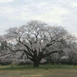 廃校になった小学校の一本桜(ソメイヨシノ)