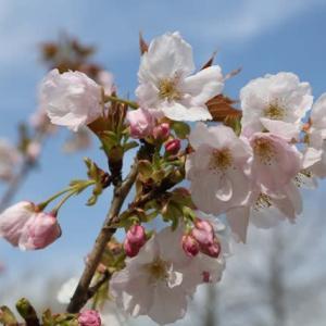 東松戸ゆいの花公園の桜 他