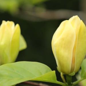 黄モクレン咲く 花の寺 Ⅰ