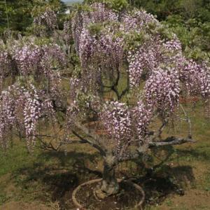松戸市育苗圃の藤の花