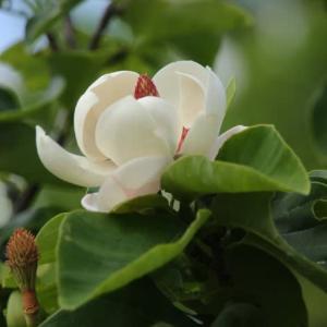ウケザキオオヤマレンゲが咲きました  Ⅰ ゆいの花公園