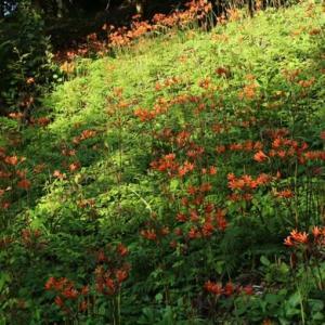 キツネノカミソリ咲くあけぼの山農業公園