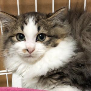 明日、明後日 2/22・23ヨーカドー琴似店で保護猫譲渡会開催します☆彡