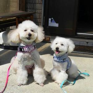 卒業犬のリミトちゃん(旧:アッキー)とリヨナちゃん(旧:マロ)が遊びに来てくれました♪