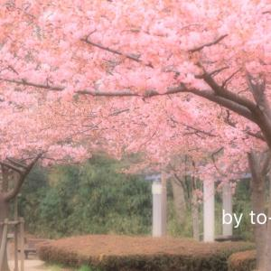 河津桜、咲き始めたよ。