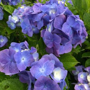 紫陽花に癒された休日