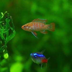 小型美魚 スカーレットジェム