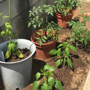 家庭菜園の進捗