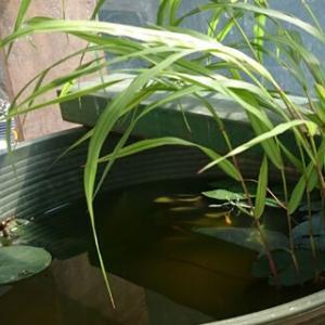 コロナ72 今週のお題 メダカで蚊の対策をしよう