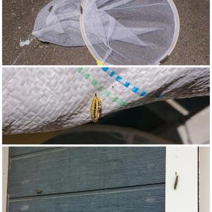 毛虫が大量発生!! 去年の蛾?? 黄色いキアシドクガ