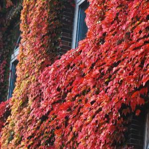 真っ赤な蔦が絡んでいる建物