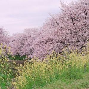 桜も菜の花も満開です